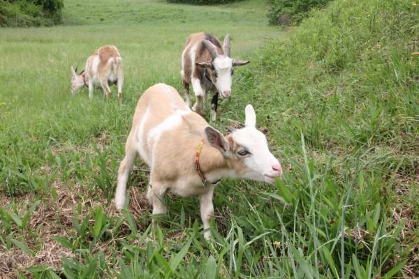 専門学校でのヤギの飼育日記4