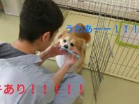 学校犬シナモン、歯みがきイヤイヤの巻_180517_0001