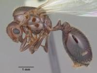 AntWeb.org image of Order:Hymenoptera Family:Formicidae Genus:Solenopsis Species:Solenopsis invicta Specimen:casent0104504 View:profile